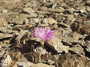Bababoudjie in flower