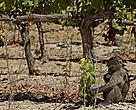 Baboons can cause unnecessary damage to vineyards.