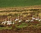 Greater Flamingos on Renosterveld Wetland