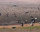 Grey crowned cranes flocking over a wetland in the Chrissiesmeer region.