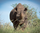 Black rhino on project site