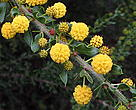 A relative newcomer in the alien plant family, Acacia paradoxa - the Kangaroo Thorn