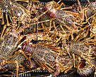 "West Coast Rock Lobster is now on the SASSI ""no-eat"" Red list"