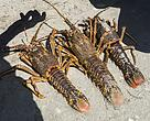 West Coast Rock Lobster provides an important source of income for many communities along the South African coastline.