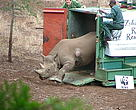 A black rhino is carefully released on to a BRREP site where it will be encouraged to breed and create a thriving new population.