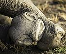 Rhino hooves at rest