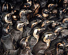 Oiled penguins in holding pens waiting to be cleaned after an oil spill.