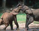 African forest elephants play-fighting