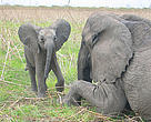 African savanna elephants in Northern Cameroon