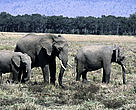 Tens of thousands of elephants are being killed each year for their tusks.