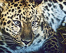 The Amur leopard is incredibly rare in the wild, and the species is the most endangered feline in the world.