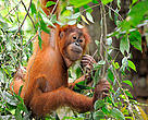 Young orangutan in forest in Sumatra, Indonesia