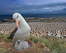 The albatross is considered the grandest living flying machine on Earth.