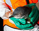 A blue penguin rescued by WWF staff during a 24-hour operation. The bird will be cleaned of contaminating oil and chemicals from the Rena oil spill.