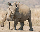 South Africa's rhinos are up against the wall and facing a genuine crisis.