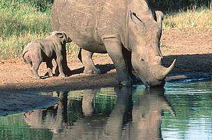 Rhino adult and calf at a water way