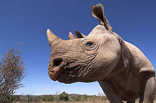 Desert black rhinoceros at Addo Elephant Park in the Eastern Cape