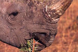 A black rhino tucks into a shrub