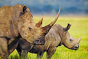 The white rhino is listed by the IUCN as endangered.