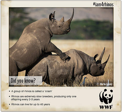 rhinoceros and world White rhinoceros (ceratotherium simum), adult female with calf and storm  to  stop the illegal flow of rhino horn from africa to other regions of the world and.